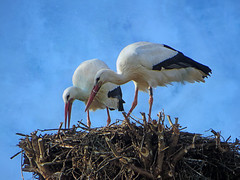 IMG_2457 time to do up the nest (pinktigger) Tags: stork cigüeña storch cicogne ooievaar ciconiaciconia cicogna cegonha bird nature fagagna feagne friuli italy italia oasideiquadris animal outdoor couple nest