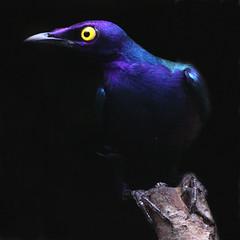 Purple Glossy Starling (Ian Lambert) Tags: africa bird sudan lancashire cumbria tropical senegal zaire lakelandwildlifeoasis milnthorpe purpleglossystarling lamprotornispurpureus mywinners avianexcellence