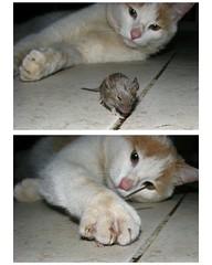 gato mago (.el Ryan.) Tags: argentina cat mouse raton hunting may mendoza gato garra caceria