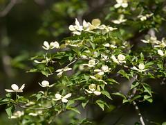 Cornus 'Rutlan' (--ki---) Tags: dc washington arboretum dogwood usna cornus