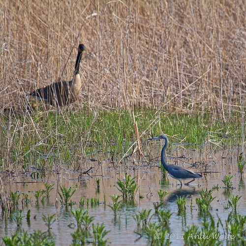 Tricolored herons are small!