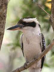 I can see you (aussiegall) Tags: tree bird spring wings beak kookaburra australiannative