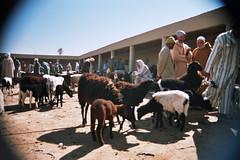 Sheep for sale Rissani (Alan Hilditch) Tags: marocco marruecos marokko marrocos moroc  almarib