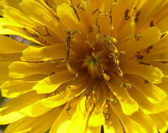 * (catimini) Tags: sun flower yellow stamen masterphotos flowercolors