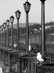 Bird And The Lamp Posts (kudaker) Tags: sanfrancisco blackandwhite bw bird pb moo bayarea aviles pf lampposts e500 blueribbonwinner 123bw flickrchallengewinner superhearts platinumheartaward theperfectphotographer