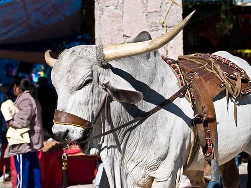 Old Bull 2