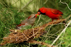 Cardinals on Nest