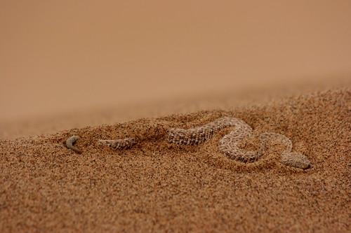 那米比沙漠清晨凍僵的響尾蛇The Peringueys Adder