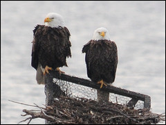 Bald Eagles @ Blackwater NWR, MD