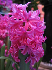 Hyacinthus (klausthebest) Tags: pink flower colour macro nature colore rosa natura fiore soe hyacinth excellence hyacinthus naturesfinest fpc wonderworld blueribbonwinner giacinto supershot abigfave anawesomeshot ultimateshot superbmasterpiece diamondclassphotographer theunforgettablepictures colourartaward betterthangood dazzlingshots theperfectphotographer