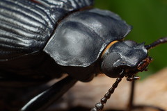 besouro - detalhes (mcvmjr1971) Tags: macro eye bug d50 nikon supershot platinumphoto nikonflickraward