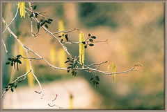The First Signs of Spring 8857 (casch52) Tags: county winter tree 20d leaves canon photo king branches photograph catkin fav fairies 50 mythology placer alder catkins placercounty explorer387 familygetty