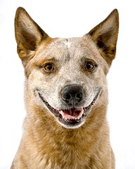 Smiling Parker (zingpix) Tags: usa dog dogs jeff washington all cattle  australian rights queensland jeffrey australiancattledog reserved parker heeler acd redheeler blueheeler allrightsreserved zingpix jeffjaquish jaquish jeffreyjaquish