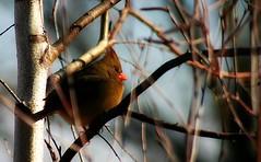 Female Cardinal in Winter (mightyquinninwky) Tags: tree bird female dof cardinal bokeh kentucky award ave limbs invite picnik femalecardinal redbird westernkentucky naturesfinest unioncountykentucky ohiorivervalley morganfieldkentucky bestofformyspacestation