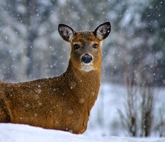 Deer in the Camera (riclane) Tags: winter snow nature deer stare duhamel whitetaildeer naturesfinest supershot mywinners superbmasterpiece 1on1animalsnonpetphotooftheweek 1on1animalsnonpetphotooftheweekfebruary2008