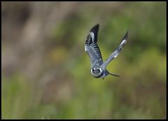 Kingfisher in Flight (billkominsky ) Tags: bird nature birds wildlife wetlands waterbirds anawesomeshot wowiekazowie featheredandwingedbirdphotography overtheexcellencegroup