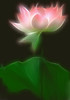 Lotus Flower - lotus11 Red / Pink