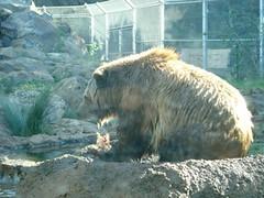 DSC00372 (PaprikaSu) Tags: animal american sanfranciscozoo ursus grizzlybear omnivore