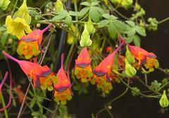 Tropaeolum tricolor (Todd Boland) Tags: flowers bulbs tropaeolum