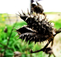 Left From Last Autumn (mightyquinninwky) Tags: geo:lat=37800926 geo:lon=87747438 geotagged spring thistle dead seedpod pod smithmillskentucky hendersoncountykentucky westernkentucky kentucky ohiorivervalley thebluegrassstate onblack viewonblack onwhite viewonwhite 11223344556677 jasonpresser