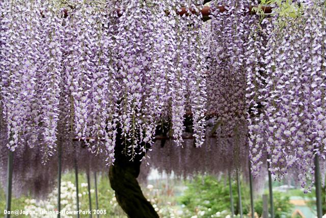 フジ/紫藤/wisteria