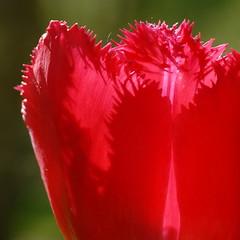 Red tulips at the keukenhof (The Sandy) Tags: red orange flower colour macro netherlands closeup tulips nederland tulip rood flowercloseup keukenhof tulpen bloem tulp lisse flowermacro flowerbulb keuke tulpenbol tuliprode