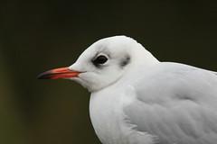 Black-Headed Gull, ad. winter (The bird-painter) Tags: larusridibundus skrattms httemge hettemke lachmwe