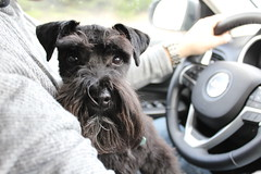 Mini Schnauzer (JustinKimKriegh) Tags: mini schnauzer dog family purebred black handsome cutie