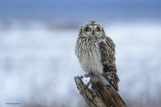 Short-eared Owl | Hibou des marais