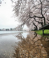 Reflections of Spring (` Toshio ') Tags: flowers sky flower reflection tree water bench cherry puddle washingtondc dc washington petals districtofcolumbia branch artistic branches blossoms perspective wideangle basin cherryblossoms washingtonmonument tidal hdr lowangle tidalbasin multipleexposures cherryblossomfestival toshio photomatix tonemapped 3exposures threeexposures highdynamicresolution superaplus aplusphoto platinumheartaward