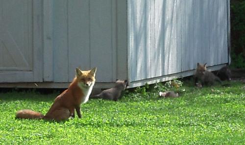 foxfamily01