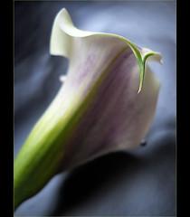 The end (*Gitpix*) Tags: flowers flower color macro nature petals nikon calla blossom natur blumen coolpix callas blume makro blte bltenbltter farben blten