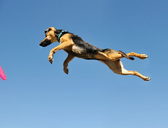 i believe i can fly. (sarah ...) Tags: pink dog sunshine flying mutt little 5 bluesky frisbee targa touchthesky