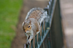 Squirrel on the Railings (Olly Plumstead) Tags: park black green london nature animals st canon fur nose grey james high eyes squirrel focus shot natural zoom action bokeh tail low central ears number acorn f nut paws railing olly length tame claws jamess bushy focal zoomed plumstead 450d
