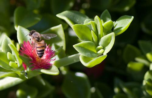 Bee in cactus garden