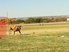 Oola Lure Coursing (Laertes) Tags: dog greatdane lure oola coursing
