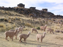 Herd (Phillie Casablanca) Tags: holiday travelling peru southamerica towers llama adventure backpacking herd llamas silustani roundtheworldtrip funerarytowers