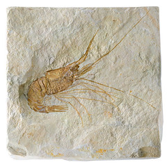 Fossil Shrimp (neilcreek) Tags: old panorama orange macro animal rock stone fossil grey ancient marine shrimp preserved prehistoric prawn fossilized fossilised 2007best
