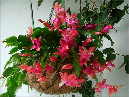 Image result for schlumbergera truncata red