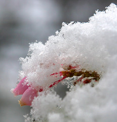 Snow Buds (4Durt) Tags: california snow bokeh mariposa flowerbuds superbmasterpiece curttoumanian stripedrockranch sierrafoothillconservancy