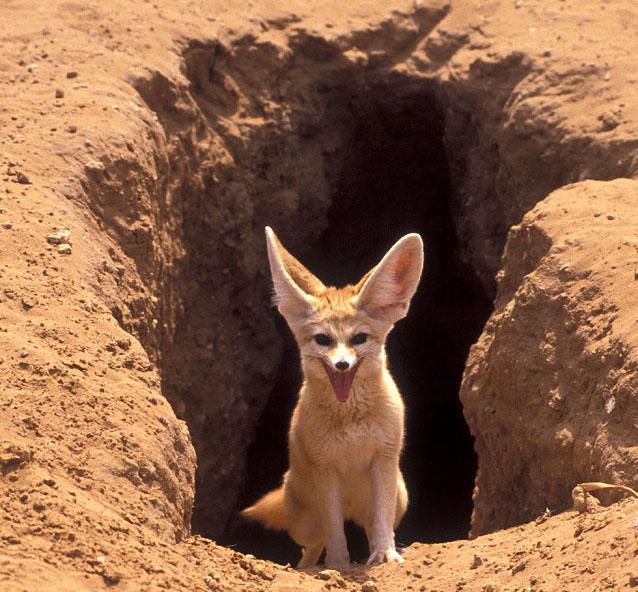 Пустинната лисица фенек