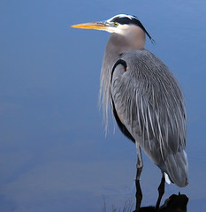 Great Blue Heron At Ease (ozoni11) Tags: lake bird heron nature birds animal animals interestingness nikon searchthebest lakes explore greatblueheron herons columbiamaryland d300 naturesfinest blueribbonwinner greatblueherons centenniallake interestingness80 i500 animaladdiction explore80 michaeloberman ozoni11 nikond300 qemdfinchfavforjanuary2008