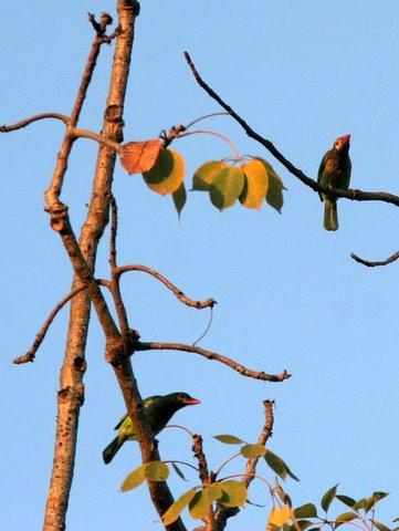 brown-headed barbets 2312