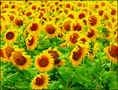 Girasoles para los amigos  / Sunflowers for the friends (Claudio.Ar) T
