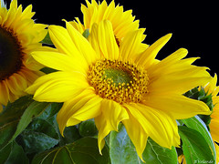 Sunflowers - Girasoles (Bernai Velarde Photography ) Tags: flores flower sunflowers girasoles velarde flowerscolors bernai