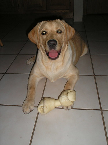 yellow labrador retriever - Porter