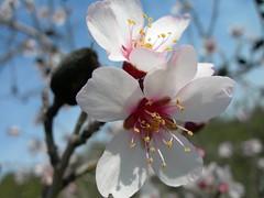 6008 Almond Blossom (Sueshane) Tags: white flower portugal flora plantas blossom branches almond bloom sjc algarve alcoutim almondtree