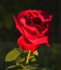 Ocaso doble (Enrique JM.) Tags: espaa color luz spain rojo flor rosa olympus cordoba ligth supershot a3b
