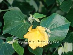 Hau1 (Lynch Images) Tags: hawaii dicot magnoliophyta angiosperm magnoliatae