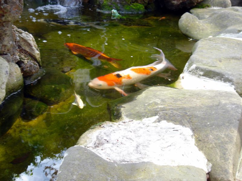 More Koi in Pond